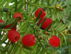 Taxus baccata `Elegantissima`.JPG