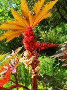 Ricinus communis.JPG