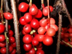 Schisandra chinensis.JPG