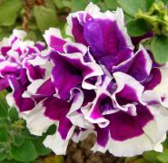Petunia o kwiatach   pelnych.JPG