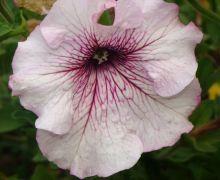 Petunia superbissima.JPG