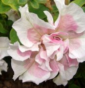 Petunia o kwiatach   pelnych (3).JPG