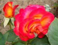 Rosa 'Alinka'.JPG
