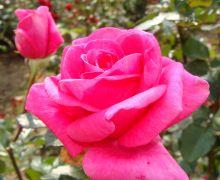 Rosa 'Jacaranda'.JPG
