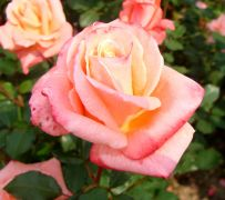 Rosa 'Sonia'.JPG