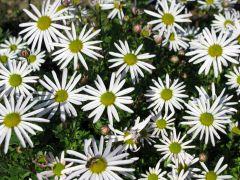 Arctanthemum arcticum.JPG
