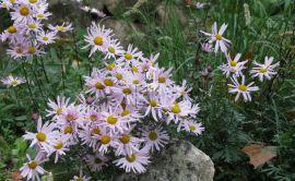 Chrysanthemum zawadskii.jpg