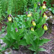 Cypripedium calceolus.JPG