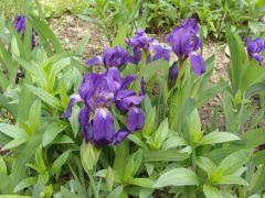 Iris aphylla.JPG