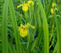 Iris pseudacorus.jpg