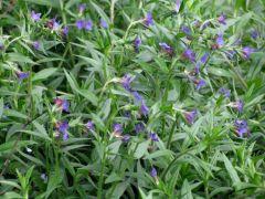 Lithospermum purpurocaeruleum.JPG
