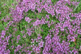 Thymus serpyllum.jpg