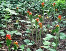 Arum cylindraceum.jpg