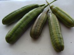 Aristolochia macrophylla.JPG