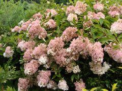 Hydrangea paniculata `Grandiflora`.JPG