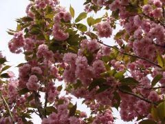 Prunus serrulata `Kanzan`.JPG