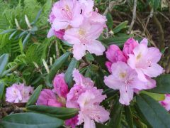 Rhododendron smirnowii.JPG