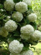Viburnum opulus `Roseum`.JPG