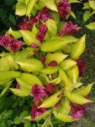Weigela florida `Aurea`.JPG