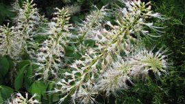 Aesculus parviflora.jpg
