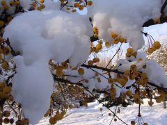 Malus `Wintergold`.JPG
