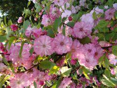 Prunus triloba var. truncata.JPG
