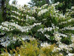 Viburnum plicatum `Mariesii`.JPG