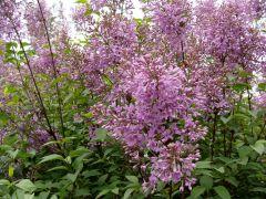 Syringa chinensis `Saugeana`.JPG