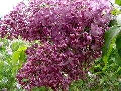 Syringa vulgaris  `M-me Francisque Morel`.JPG