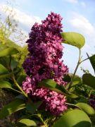 Syringa vulgaris  `Mrs Edward Harding`.JPG