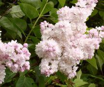 Syringa vulgaris `Krasawica Moskwy`.JPG