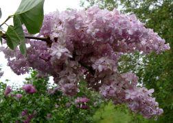 Syringa vulgaris `Vauban`.JPG
