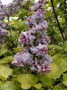 Syringa vulgris `Aucubifolia`.JPG