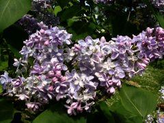 Syringa vulgaris `Ami Schott`.JPG