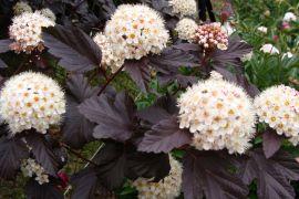 Physocarpus opulifolius `Diabolo`.JPG