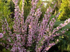 Prunus triloba f. multiplex.JPG
