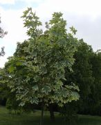 Acer platanoides `Drummondii`.JPG