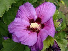 Hibiscus syriacus.JPG