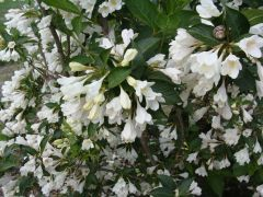 Weigela florida `Alba`.JPG