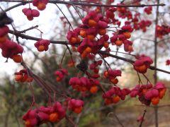 Euonymus europaeus `Red Cascade`.JPG