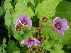 Rubus odoratus.JPG