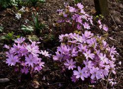 Hepatica nobilis fl.rosea.JPG