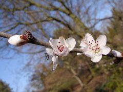 Prunus davidiana Brzoskwinia Dawida.JPG