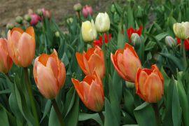 Tulipa fosteriana `Orange Emperor`2.JPG