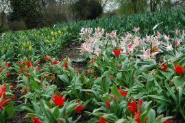 Tulipa praestans `Zwanenburg Variety`2.JPG