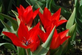 Tulipan `Bloemenlust`.JPG