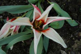 Tulipan `Zombie`2.JPG