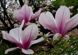 Magnolia  Soulange'a (Magnolia × soulangeana).JPG