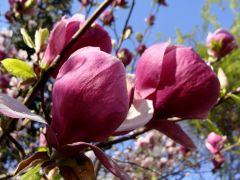 Magnolia  Soulange'a (Magnolia × soulangeana...