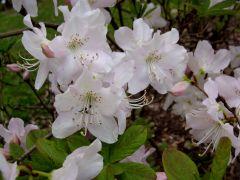 Różanecznim Szlippenbacha (Rhododendron schlippenbachii).JPG